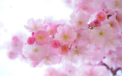 Voyage au Japon au temps des cerisiers