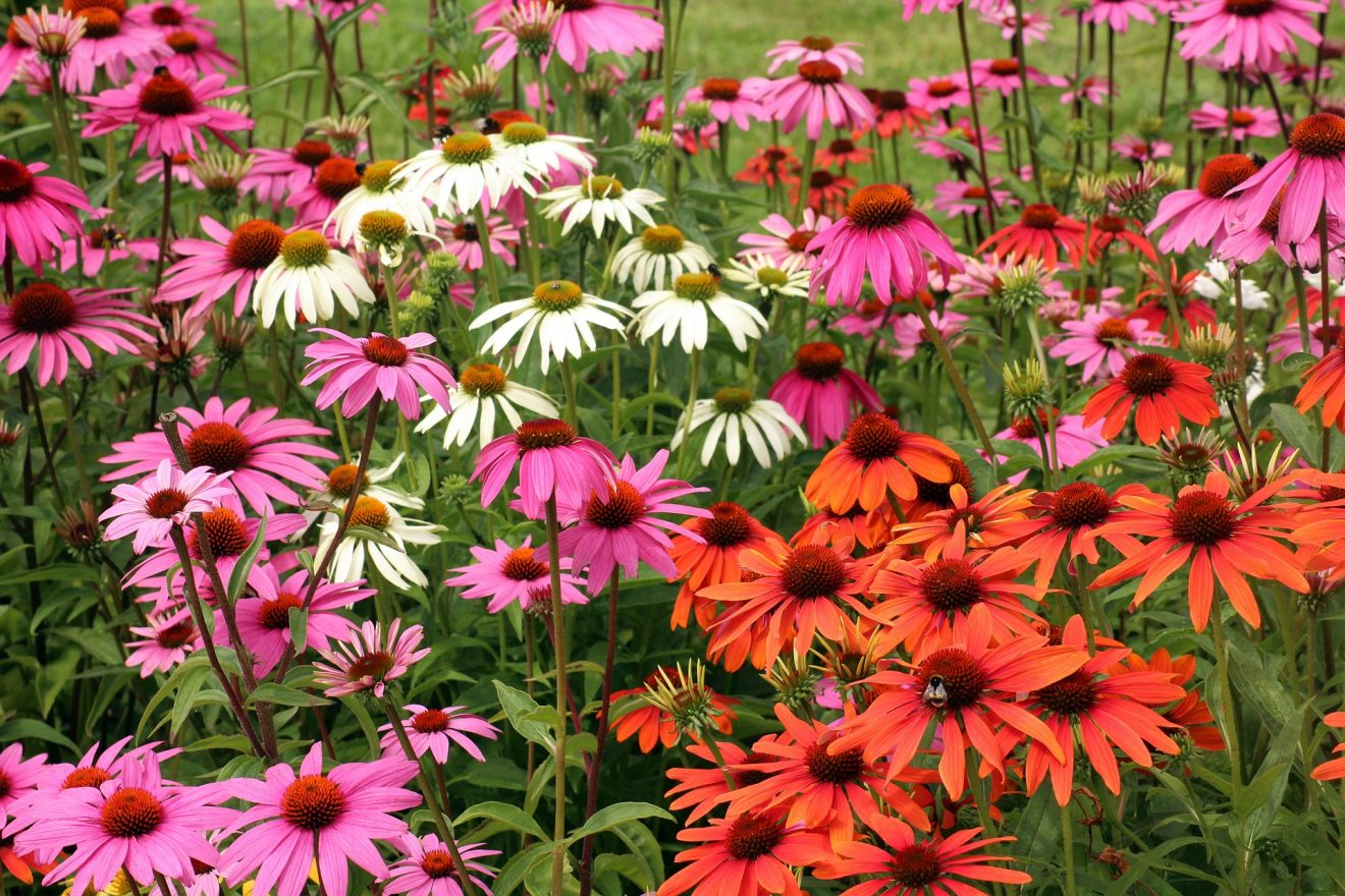 purple-coneflower-3517969_1920