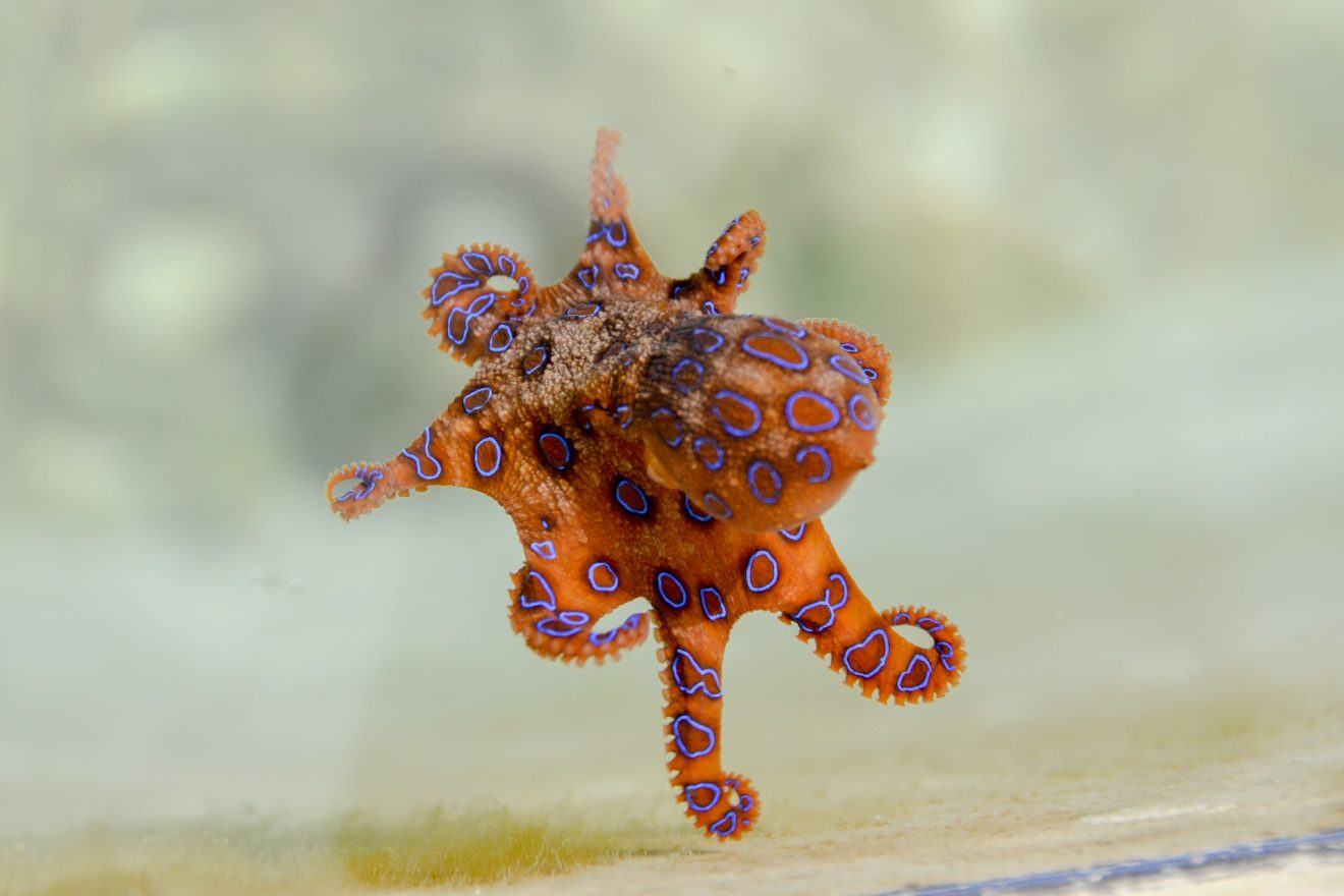 blue-ringed-octopus-2414408_1920