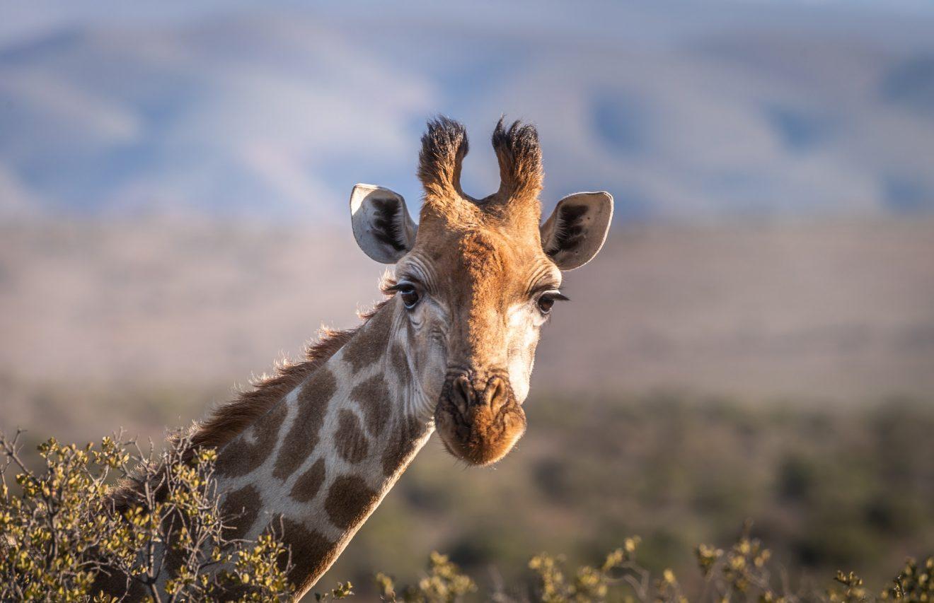 giraffe-4312090_1920